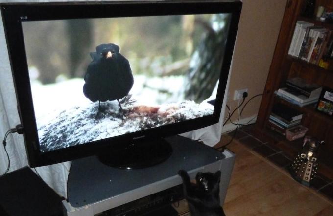 cat-watching-the-tv